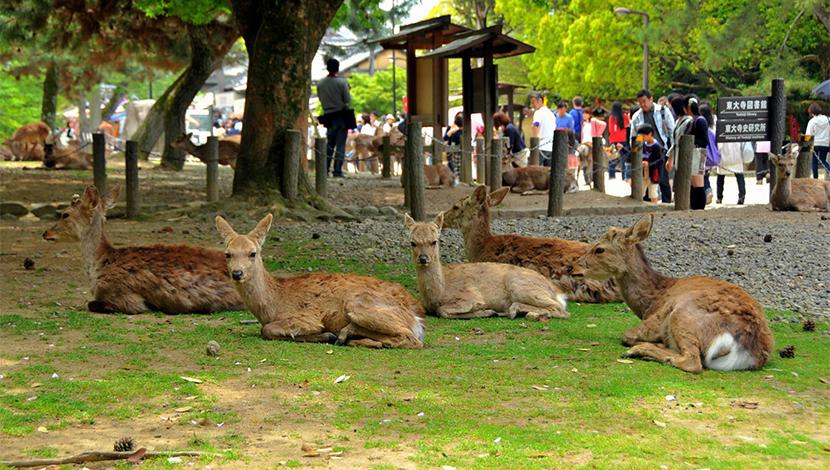 奈良亲近萌鹿1日游